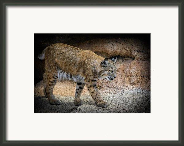 Bobcat Framed Print By Elaine Malott