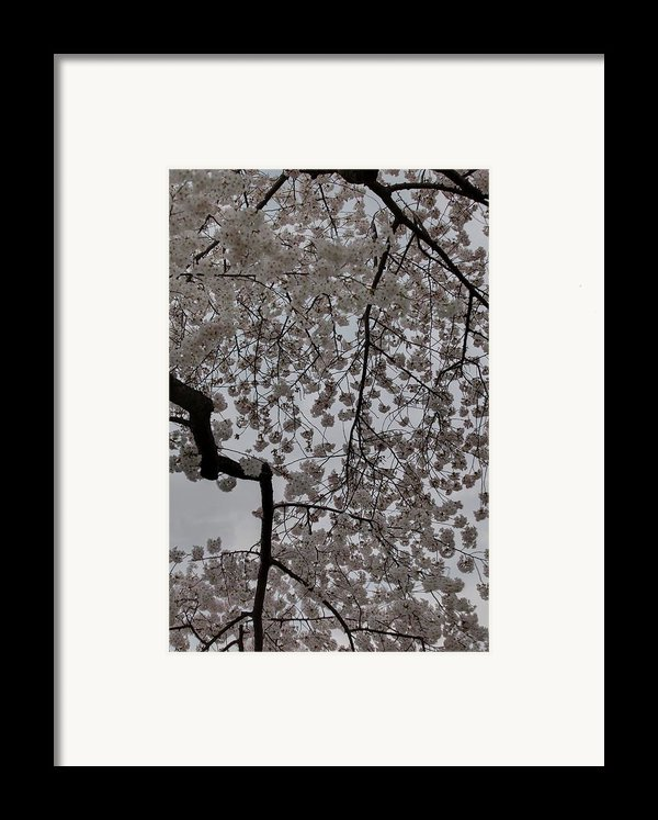 Cherry Blossoms - Washington Dc - 011342 Framed Print By Dc Photographer