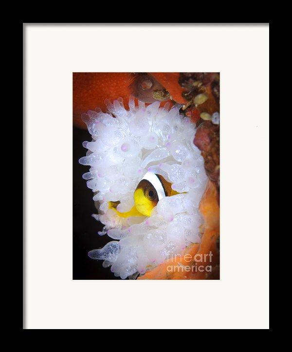 Clarks Anemonefish In White Anemone Framed Print By Steve Jones