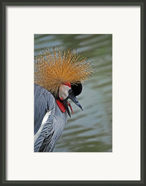 Crowned Crane Framed Print By Skip Willits