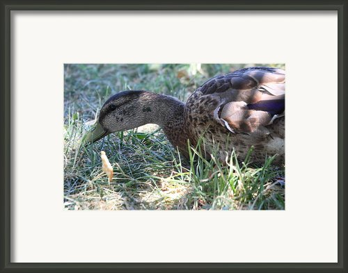 Duck - Animal - 011310 Framed Print By Dc Photographer