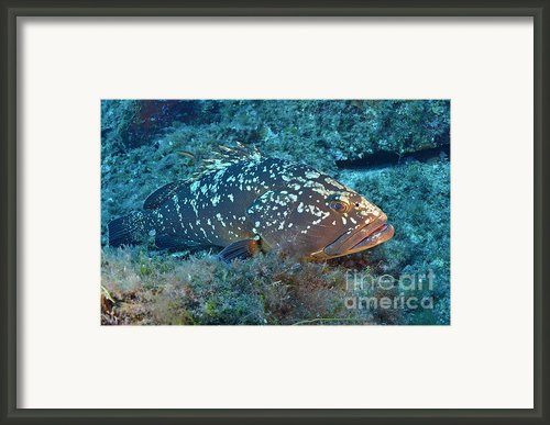 Dusky Grouper Framed Print By Sami Sarkis