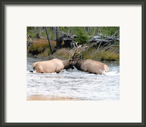 Elk Fighting  Framed Print By Cody Hoagland