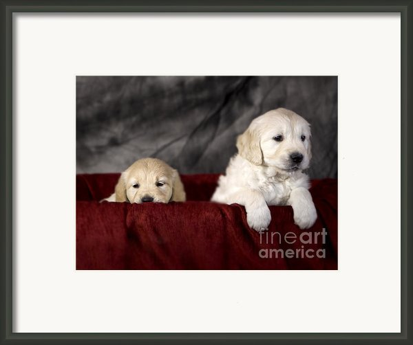 Golden Retriever Puppies Framed Print By Angel  Tarantella