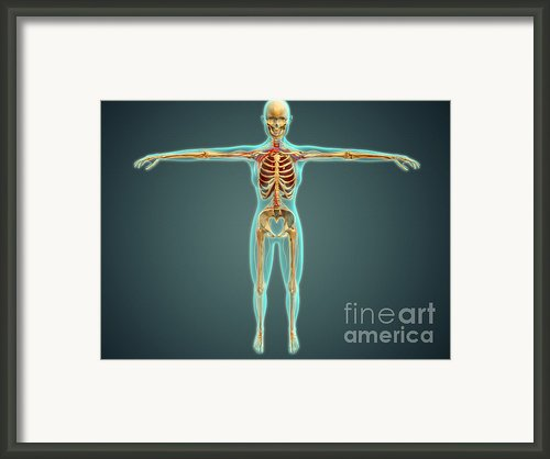 Human Body Showing Skeletal System Framed Print By Stocktrek Images