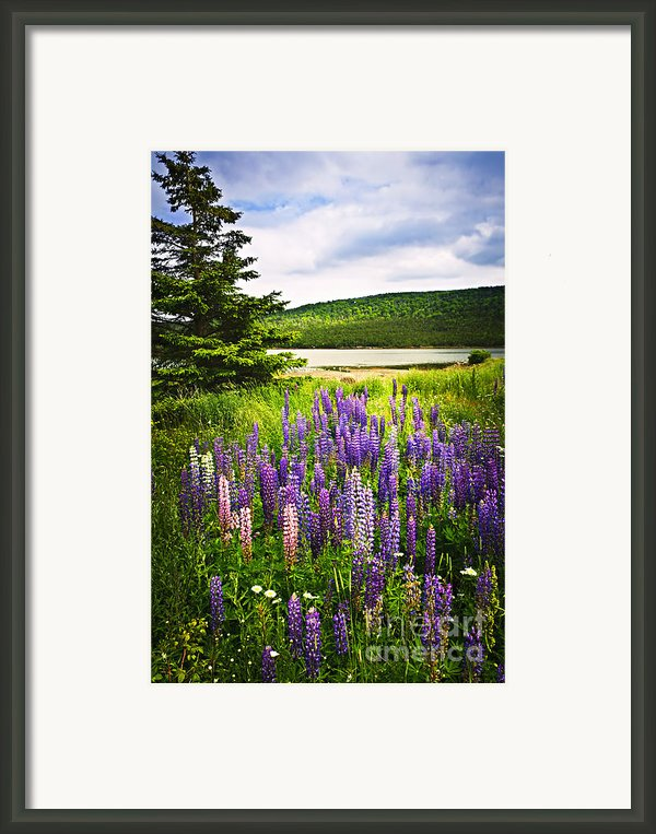 Lupin Flowers In Newfoundland Framed Print By Elena Elisseeva