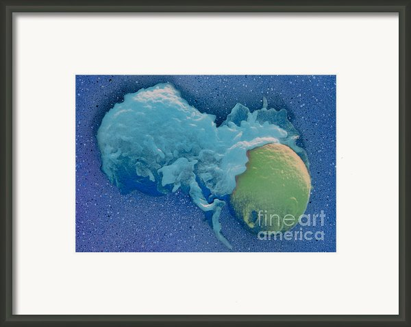Macrophage Englufing Yeast Cell Framed Print By Biology Pics