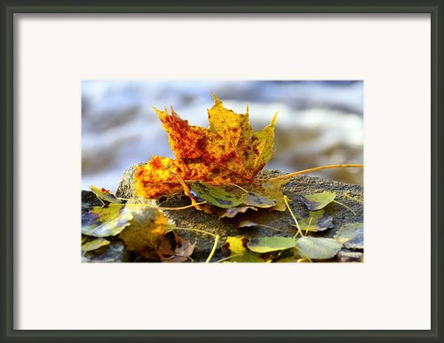 Maple Leafs Framed Print By Tommy Hammarsten