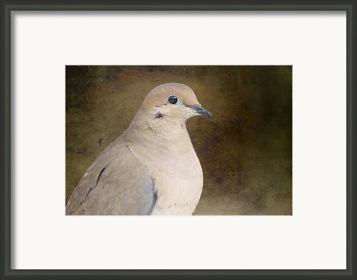 Mourning Dove Framed Print By Michel Soucy