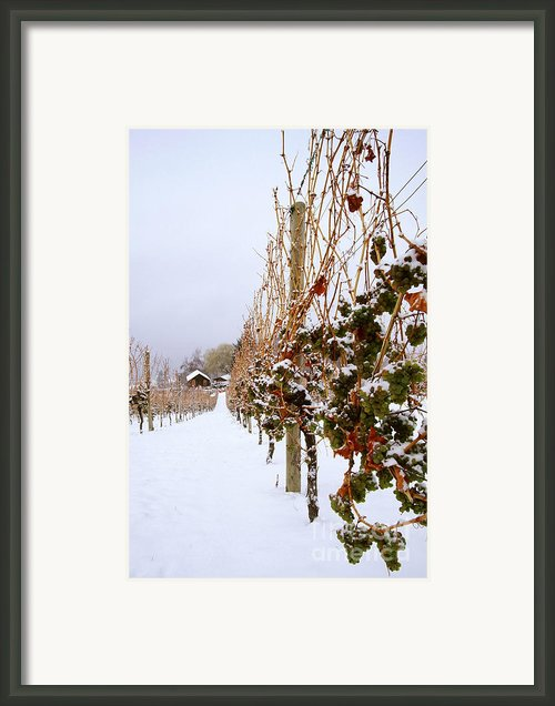 Okanagan Valley Vineyards In Winter Framed Print By Kevin Miller