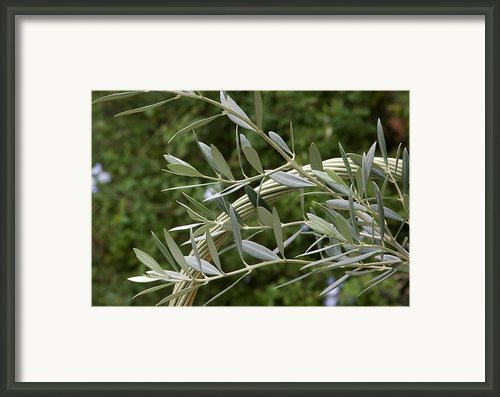 Olive Leaves Framed Print By Maria Bedacht