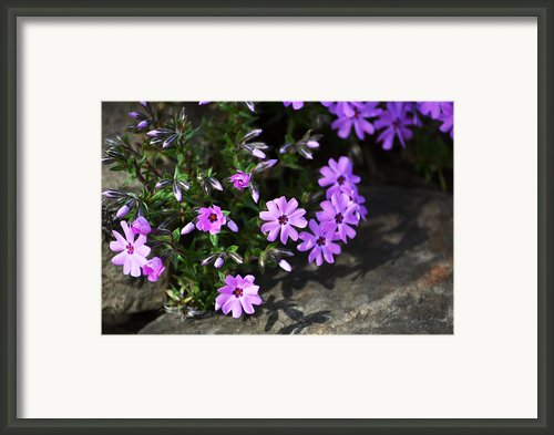 Phlox Framed Print By Christina Rollo