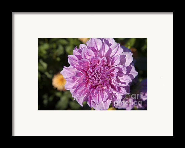 Pink Dahlia Framed Print By Peter French