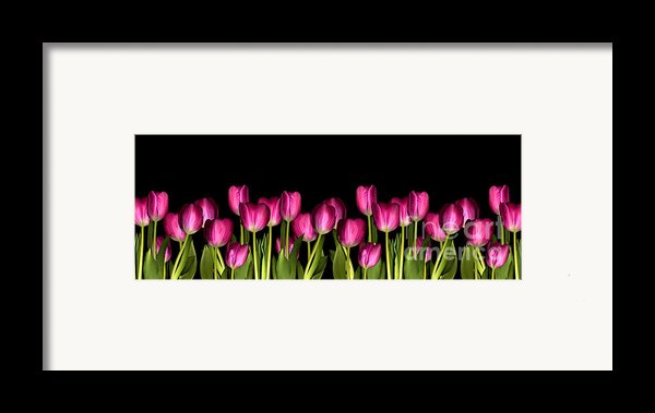 Pink Tulip Framed Print By Jacqui Martin