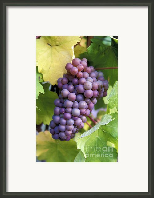 Pinot Gris Grapes Framed Print By Kevin Miller
