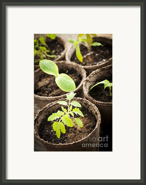 Seedlings Growing In Peat Moss Pots Framed Print By Elena Elisseeva