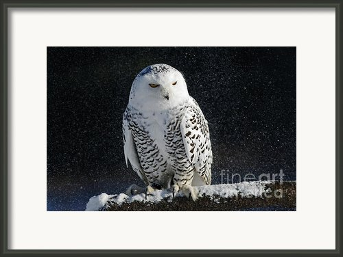 Snowy Owl On A Twilight Winter Night Framed Print By Inspired Nature Photography By Shelley Myke