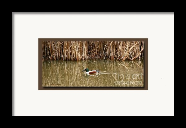 Swimming Among The Reeds Framed Print By Chris Anderson