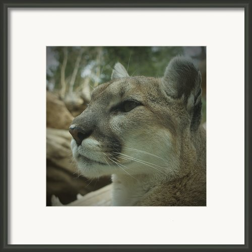 The Cougar 3 Framed Print By Ernie Echols
