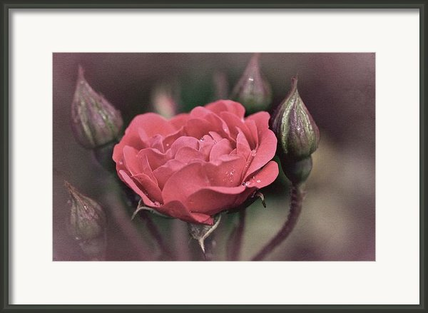 Vintage Rose No. 4 Framed Print By Richard Cummings
