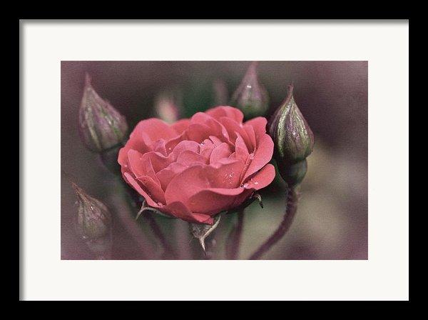 Vintage Rose No. 4 Framed Print By Richard Cummings
