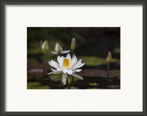 Water Lilly 6 Framed Print By Charles Warren