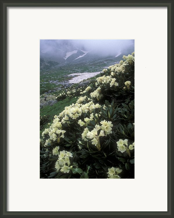 Wild Rhododendrons On A Hillside Framed Print By Anonymous