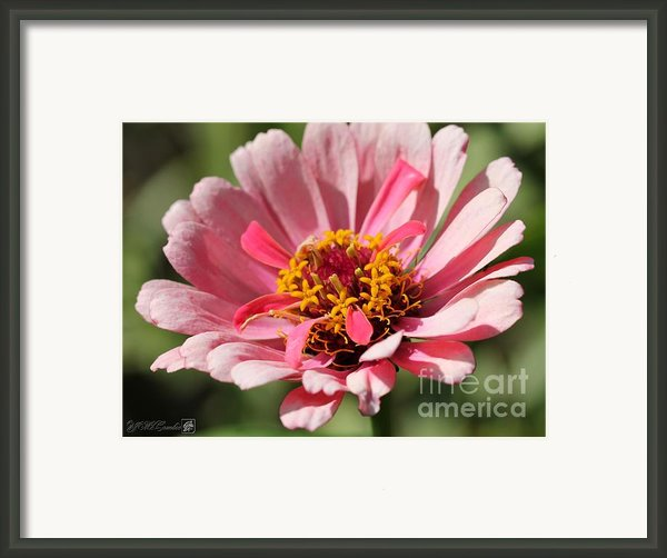 Zinnia From The Whirlygig Mix Framed Print By J Mccombie