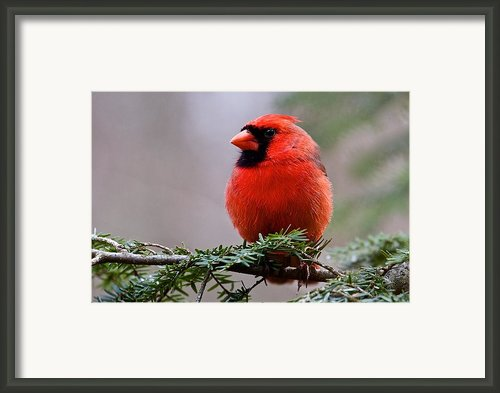 Northern Cardinal Male Framed Print By Dan Ferrin