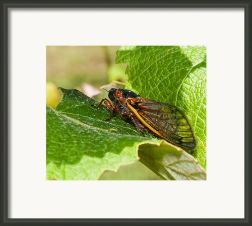 17 Year Cicada 2 Framed Print By Lara Ellis
