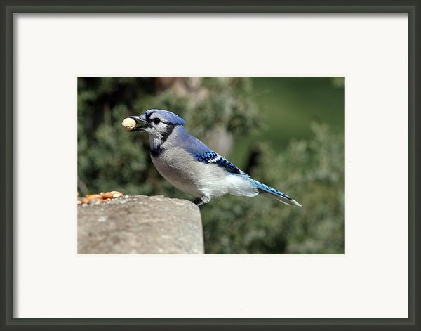 Bluejay Framed Print By Jim Nelson
