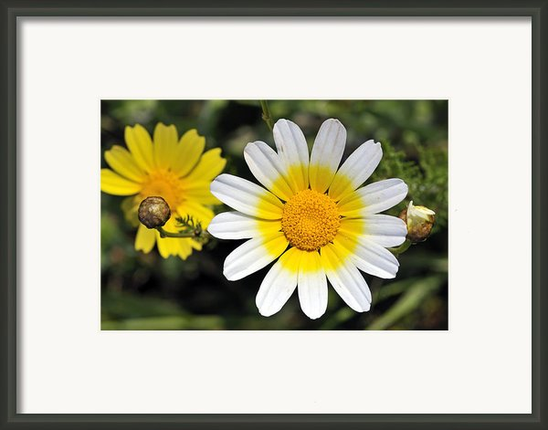 Crown Daisy Flower Framed Print By George Atsametakis