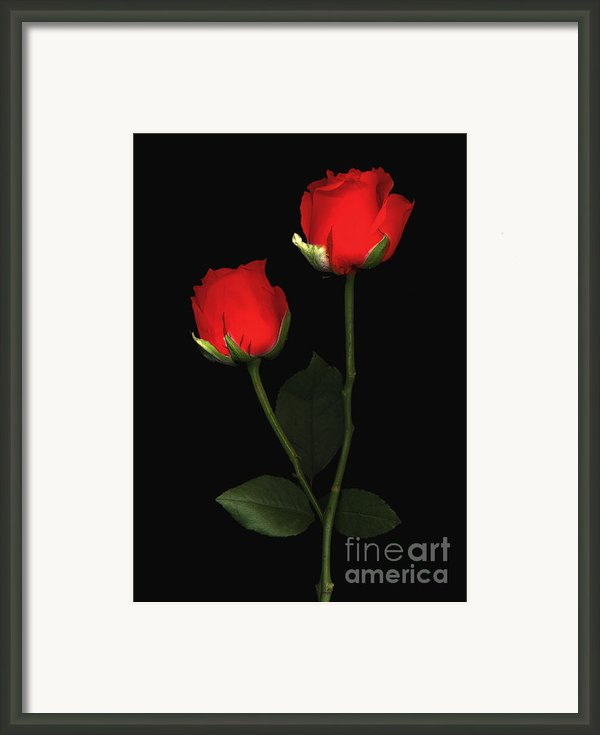 Red Rose Framed Print By Jacqui Martin