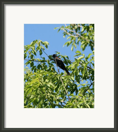 Red Winged Blackbird Framed Print By Neal  Eslinger