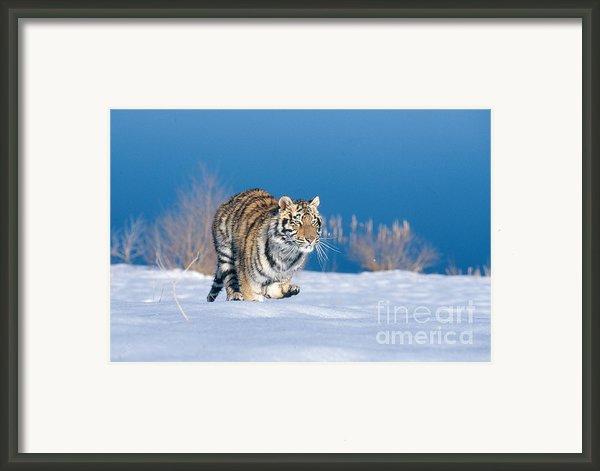 Siberian Tiger Framed Print By Alan Carey