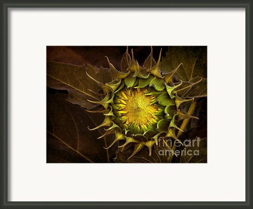 Sunflower Framed Print By Elena Nosyreva