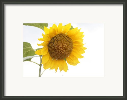 Sunflower Salutation  Framed Print By Georgia Fowler