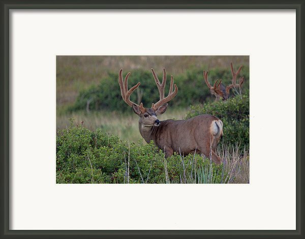 Two In The Bush Framed Print By Jim Garrison