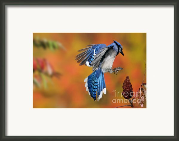 Blue Jay Framed Print By Scott Linstead