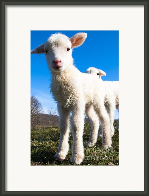 Curious Day-old Lambs Framed Print By Thomas R Fletcher