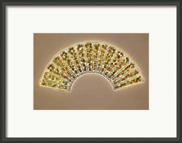 Diatoms, Light Micrograph Framed Print By Science Photo Library