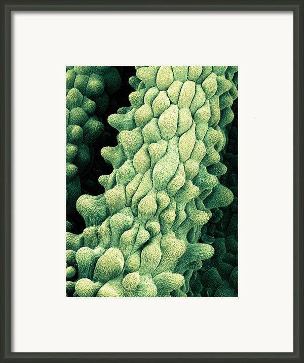 Flower Pistils, Sem Framed Print By Science Photo Library