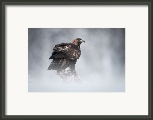 Golden Eagle Framed Print By Andy Astbury
