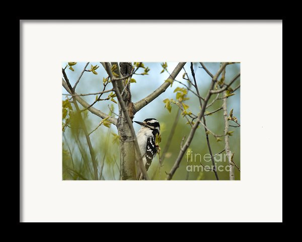 Hairy Woodpecker Framed Print By Linda Freshwaters Arndt
