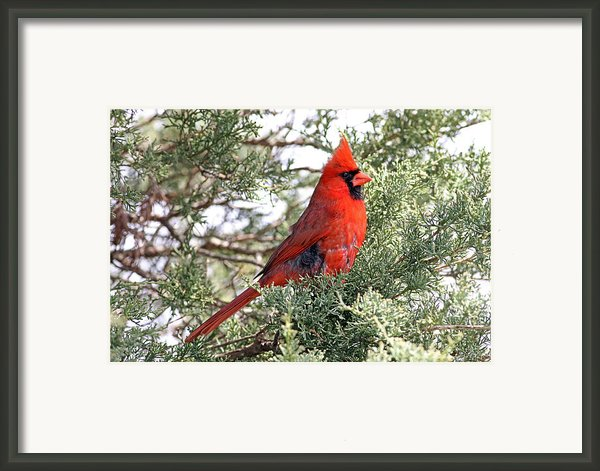 Northern Cardinal - Male Framed Print By Jim Nelson