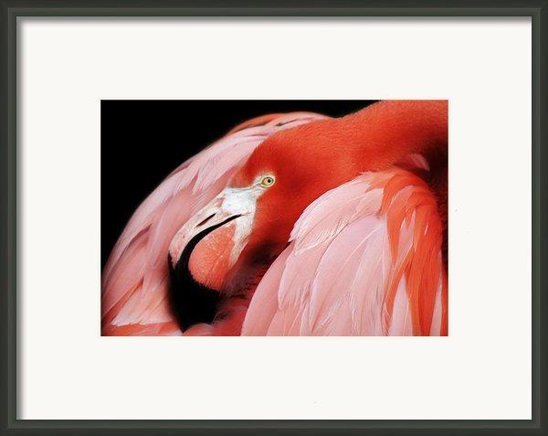 Flamingo Framed Print By Paulette  Thomas