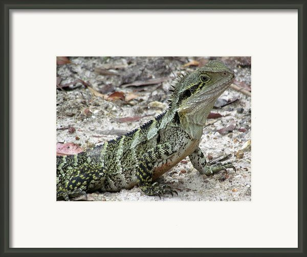 Lizard  Framed Print By Joyce Woodhouse