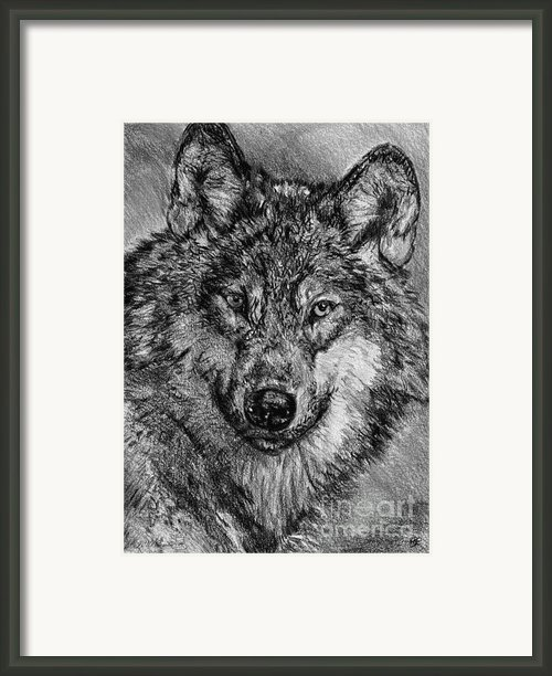 Portrait Of A Gray Wolf Framed Print By J Mccombie