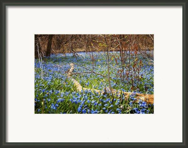Spring Blue Flowers Glory-of-the-snow Framed Print By Elena Elisseeva