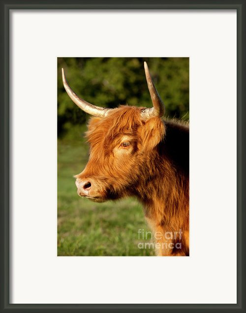 Highland Cow Framed Print By Brian Jannsen